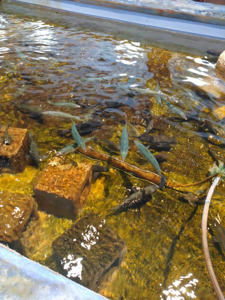 サバの水槽